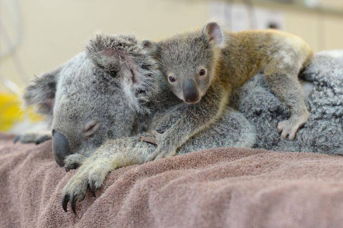 Curiozitati despre koala - Ursi koala 04