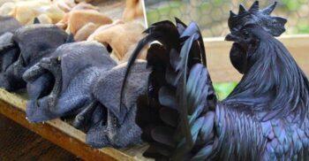 Ayam cemani, găinile cu penele, pielea și organele interne negre