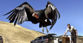 Condorul andin, gigantul care zboară ore în șir fără să dea din aripi