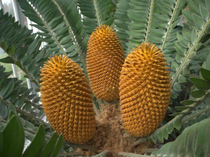 Encephalartos woodii cone