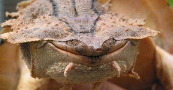 """Mata mata, țestoasa cu """"zâmbet"""" larg și pielea ca scoarța de copac"""
