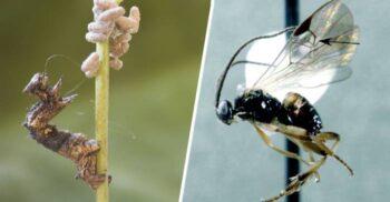 """Viespea care își """"convinge"""" gazdele să devină hrană pentru larvele sale"""