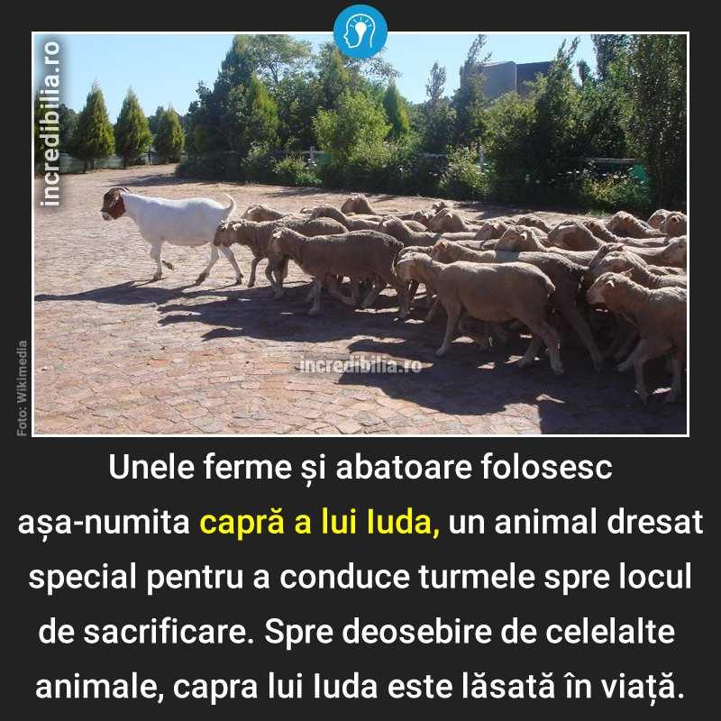 385. capra lui iuda