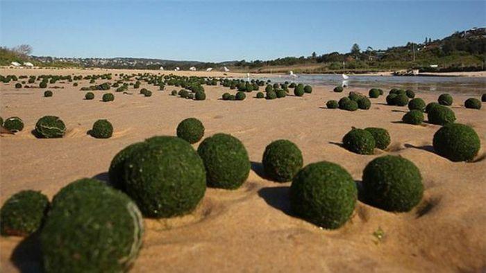 Bile de alge