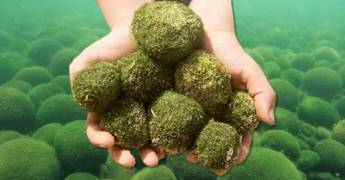 Bilele de alge - Sferele vii care cresc în adâncurile lacurilor