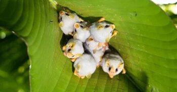 """Liliacul alb de Honduras, mamiferul frugivor care face """"corturi"""" din frunze"""