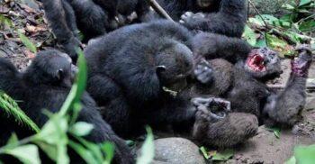 Marele război al cimpanzeilor: Primatele care s-au bătut vreme de 4 ani