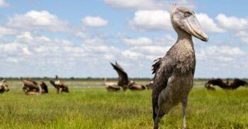 Pasărea sabot, ucigașul silențios din mlaștinile Africii