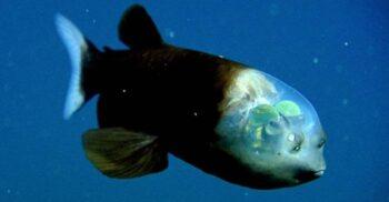 Peștele cu capul transparent, creatura care vânează folosind umbrele
