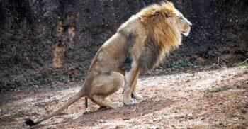 Un circ din Germania face bani vânzând borcane cu fecale de leu