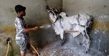 Un pakistanez și-a transformat spălătoria de motociclete în spălătorie de vaci