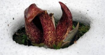 Varza sconcsului și crinul calului mort, plantele care generează căldură
