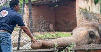 """""""Cel mai singur elefant din lume"""", eliberat după 35 de ani de chinuri la zoo"""