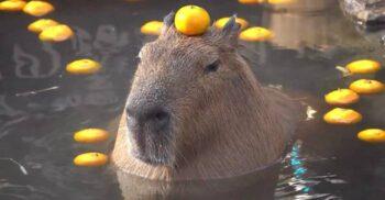 5 curiozități despre capibara, rozătoarea considerată pește de Biserica Catolică