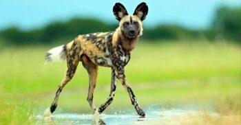 Câinii sălbatici africani, vânătorii care își urmăresc prada până la extenuare