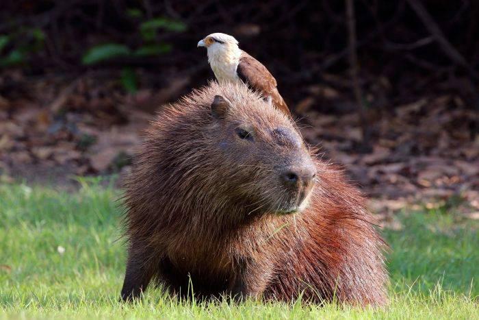 Capibara cu pasare