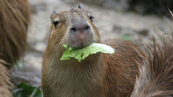 Capibara mancand