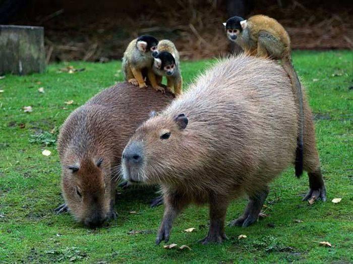 Curiozitati despre capibara
