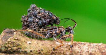 """Gândacul-asasin, prădătorul care își face """"costum"""" din cadavrele victimelor"""