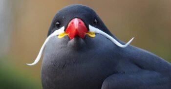"""Larosterna inca, pasărea cu mustață – """"Salvador Dali cu aripi"""""""