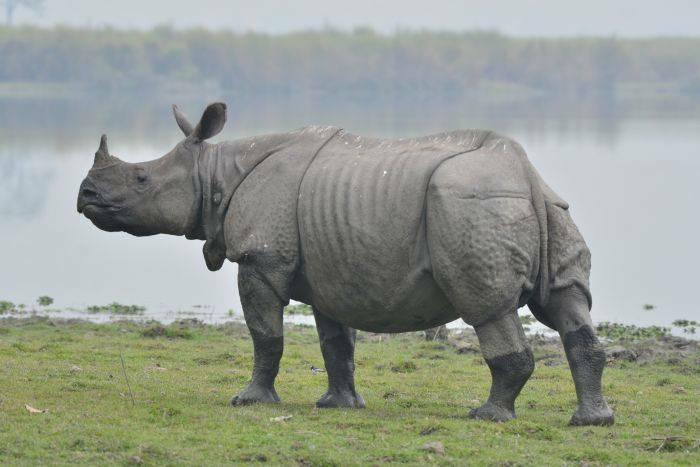 Rinocer indian