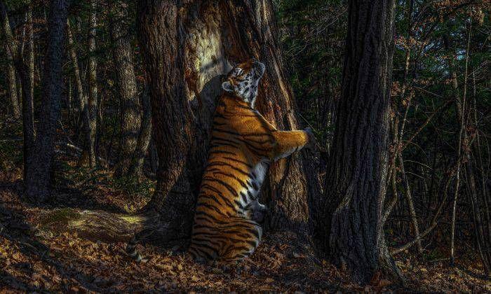 000 Tigrul siberian