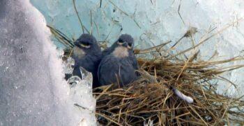 Cinteza Diuca, pasărea care clocește ouă pe ghețari