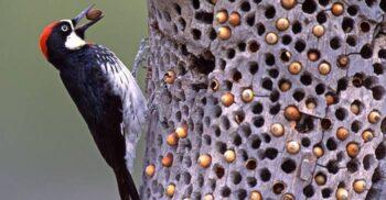 Ciocănitorile de ghindă, păsările care se războiesc câteva zile