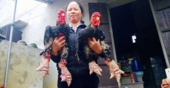 Uriașele găini Dong Tao, păsările cu picioare monstruoase