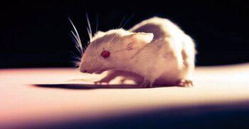 """OncoMouse, șoarecele brevetat care a """"dinamitat"""" lumea științei"""