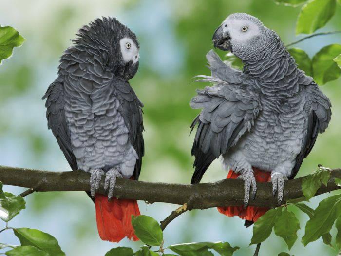 Papagali gri africani 01