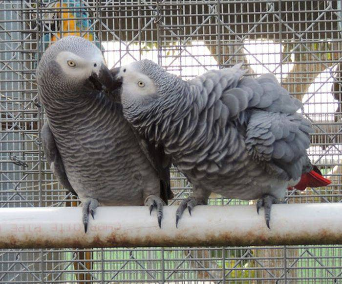 Papagali gri africani 03
