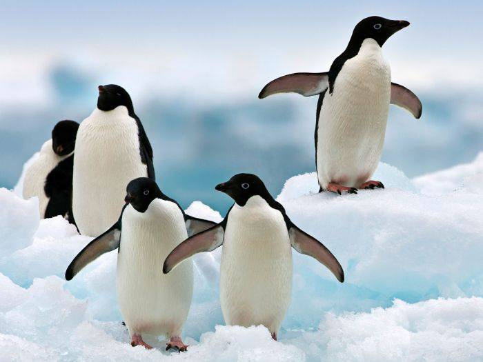 Pinguini Adelie