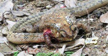 Șarpele Kukri, reptila care își devorează prada de vie, din interior