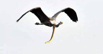 Anghila-șarpe, animalul care evadează din stomacul prădătorului perforându-l cu coada