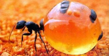 Furnicile de miere, insectele cu pântecele cât strugurii, pline cu nectar