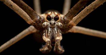 """Păianjenul cu față de căpcăun, creatura care are """"urechile"""" în vârful picioarelor"""