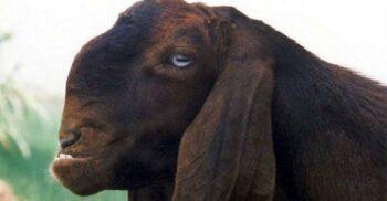 Capra de Damasc, un animal cu trăsături neobișnuite