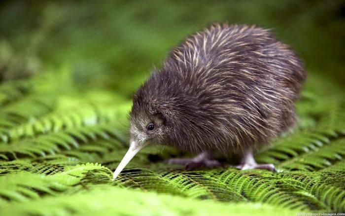 Curiozitati despre Noua Zeelanda - Pasarea Kiwi