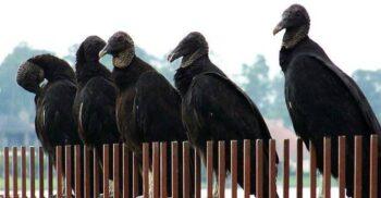 """Marietta, orașul în care """"plouă"""" cu excremente și vomă de vultur"""
