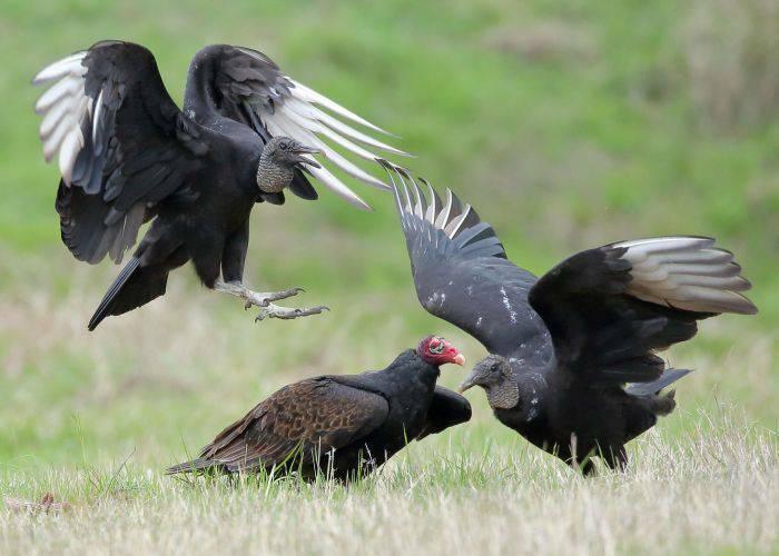 Vulturi negri 01