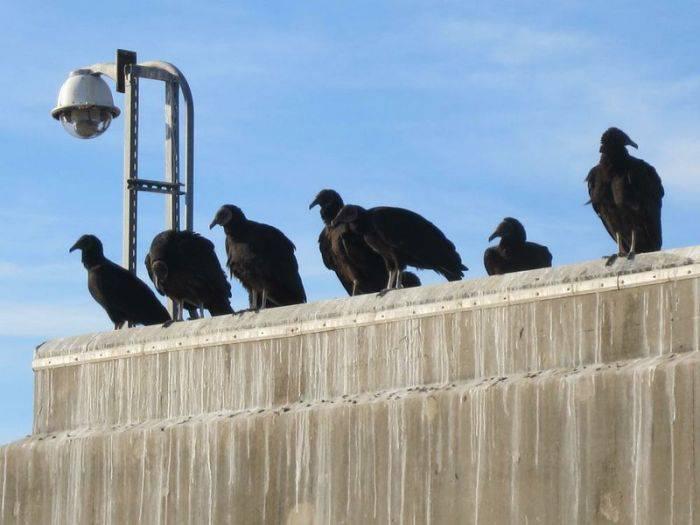 Vulturi negri 02