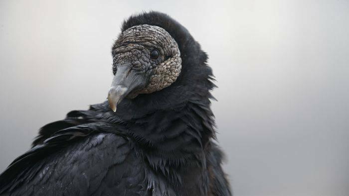 Vulturi negri 03