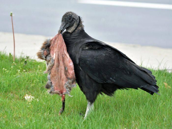 Vulturi negri 04