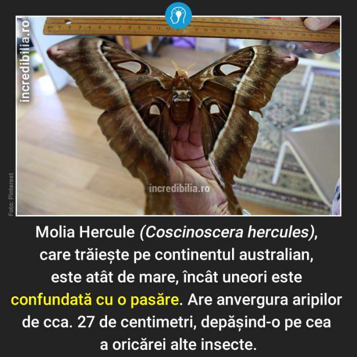 769. molia hercule_165_red