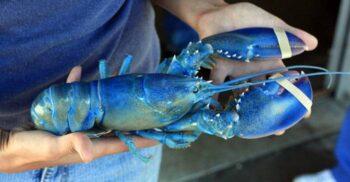 Homarul albastru, unul dintre cele mai rare crustacee, costă 500 de dolari bucata