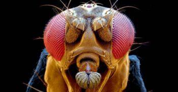 Ochii musculiței de oțet, sursă de inspirație pentru un material revoluționar