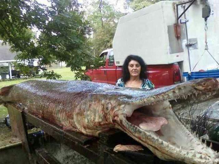 Peștele aligator (Atractosteus spatula)