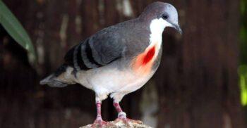 Porumbelul cu inima sângerândă, pasărea care pare rănită la piept