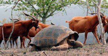"""Caprele lui Iuda, """"agenții infiltrați"""" pentru uciderea caprelor din Insulele Galapagos"""
